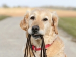 iStock_000008760738XSmall dog with leash in mouth