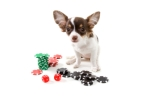 Gambling Puppy Dog Sitting with Stacks of Colored poker Chips an