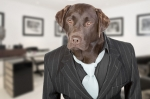 Chocolate Labrador in Pin Stripe Suit