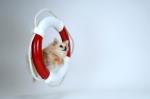 Lifesaver Pomeranian